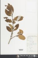 Image of Ilex elmerrilliana
