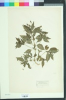 Image of Mercurialis annua