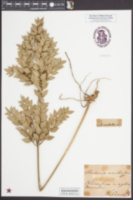 Ruscus aculeatus image