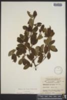 Ilex mucronata image
