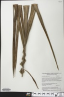Oenocarpus bataua image