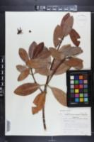 Rhizophora mangle image