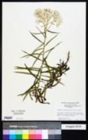 Anaphalis margaritacea image