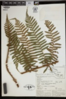 Image of Alsophila bicrenata