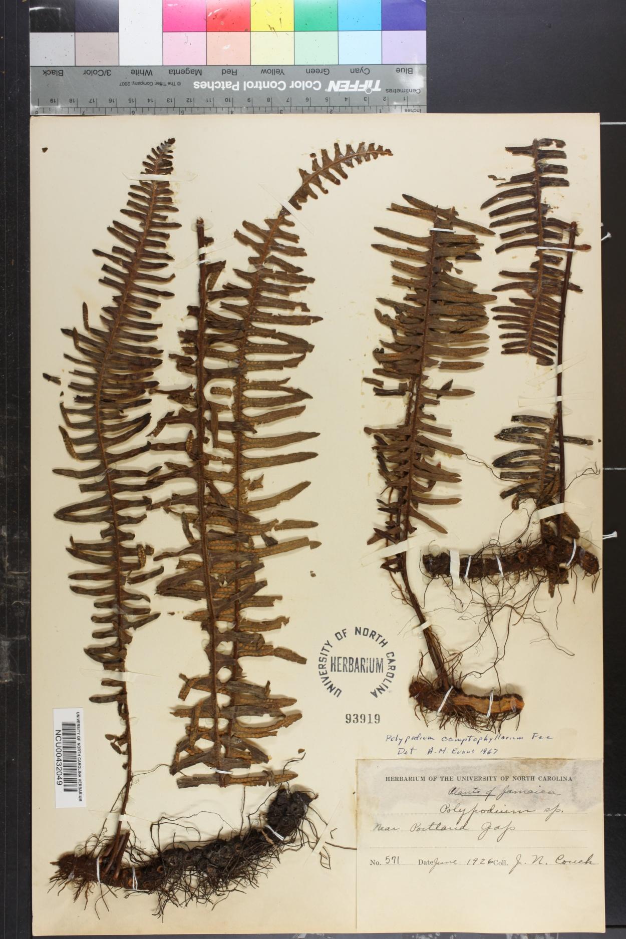 Polypodium camptophyllarium image