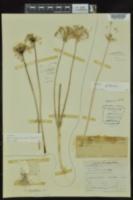 Allium canadense var. canadense image