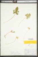 Viola palmata image