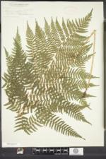 Athyrium filix-femina var. cyclosorum image