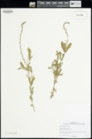 Image of Verbena plicata