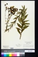 Image of Vernonia pulchella