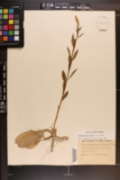 Chamaelirium luteum image
