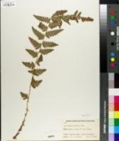 Dryopteris cristata image