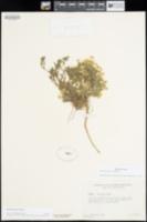 Draba lemmonii image