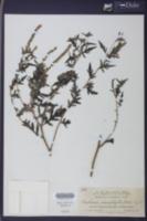 Ambrosia monophylla image