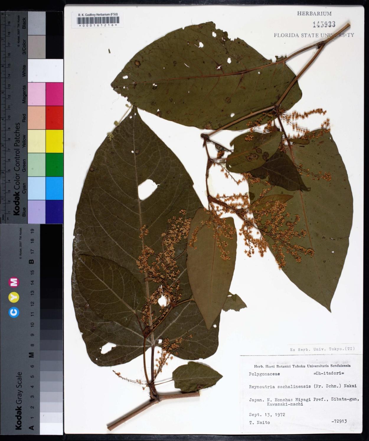 Reynoutria sachalinensis image
