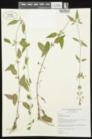 Lysimachia radicans image