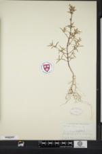 Galeopsis ladanum image