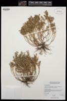 Sedum hispanicum image