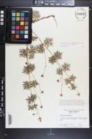 Geranium sanguineum image