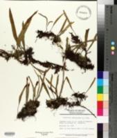 Image of Pleopeltis lanceolata