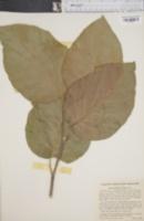 Magnolia cordata image