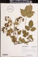 Image of Rubus argutus