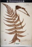Image of Polystichum anomalum