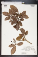 Image of Tabebuia caraiba