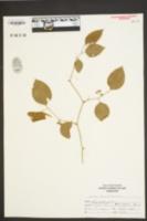 Smilax rotundifolia image