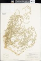 Atriplex minuscula image