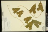 Calystegia silvatica image