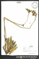 Image of Hieracium x floribundum