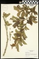 Hamamelis vernalis image
