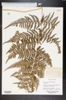Image of Ctenitis ampla