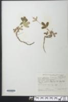 Sibbaldia tridentata image