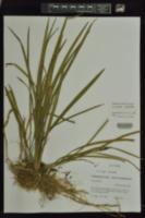 Liriope spicata image