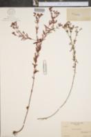 Hypericum canadense image