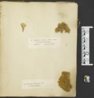 Polyporus occidentalis image