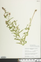 Image of Stachys hyssopifolia