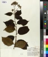 Image of Tournefortia hirsutissima