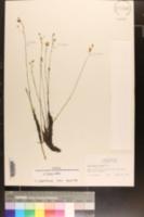Utricularia striata image