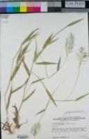 Image of Panicum acuminatissimum
