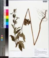 Sesamum orientale image