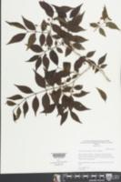 Psidium sartorianum image