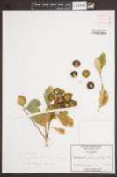 Image of X citrofortunella mitis