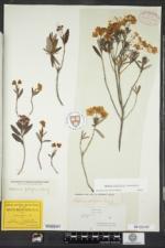 Kalmia polifolia image