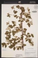 Rubus leucodermis image