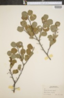 Prunus gravesii image