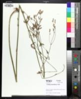 Image of Verbena brasiliensis