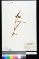 Commelina erecta var. angustifolia image